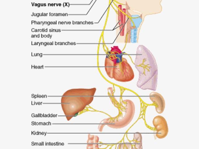 a vagus ideg magas vérnyomása magas vérnyomás 2 fokos tünetek és kezelés népi gyógymódok