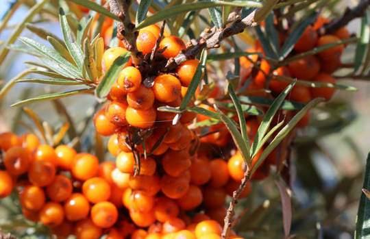 Gyógyszer helyett homoktövis: szupergyümölcs a kertedből! | magton.hu