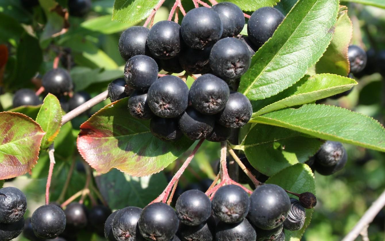 Növeli vagy csökkenti a vérnyomás fekete chokeberryt? - Bécs