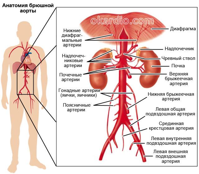 Hasi aorta aneurizma (körülírt értágulat)