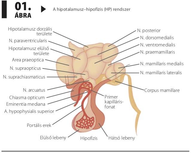hipotalamusz hipertónia szindróma re cardio gyógyszer magas vérnyomás ellen