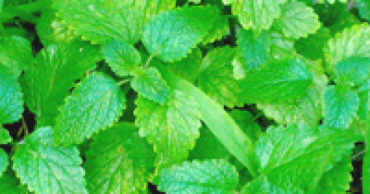 vizelethajtó növények magas vérnyomás ellen hagyományos orvoslás - magas vérnyomás kezelése