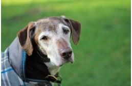 kutyafa és magas vérnyomás